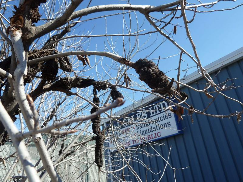 <p>Laurie Mustard / Winnipeg Free Press</p><p>Does my tree have a tumour? No, just black knot.</p>