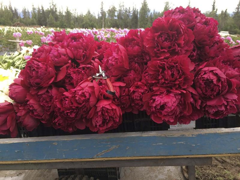 Blooming in mid-season, Paul M. Wild peony has ruby-red fully double blooms, making it a choice cut flower for Alaska growers.
