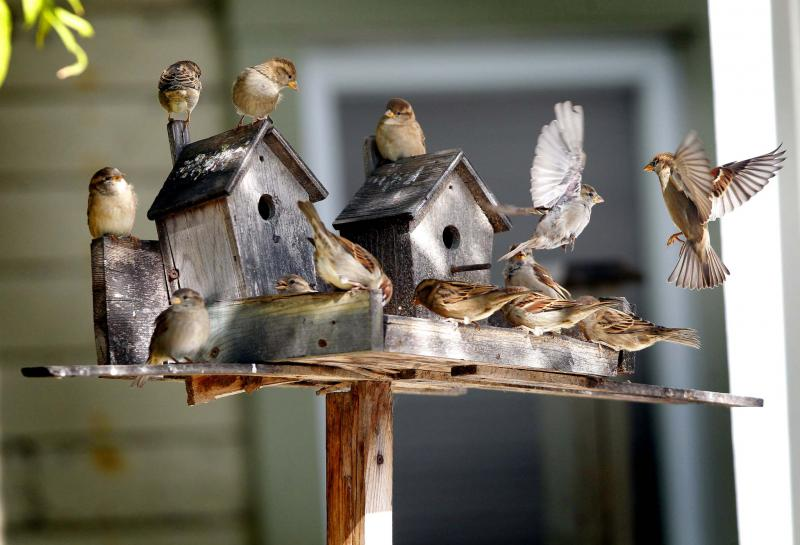 <p>BORIS MINKEVICH / WINNIPEG FREE PRESS files</p><p>A flock of sparrows feasts in a bird feeder, not in a prized vegetable garden.</p>