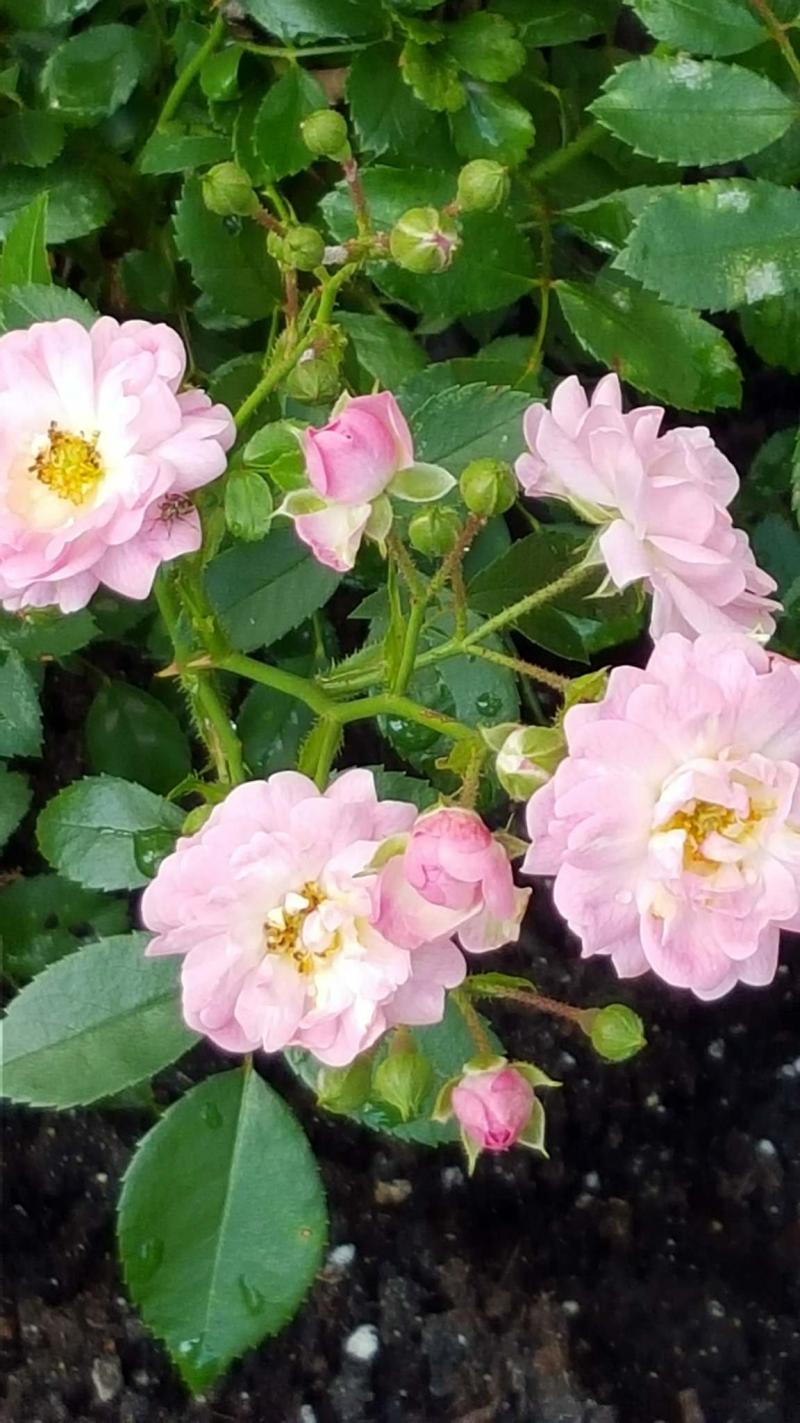 <p>Colleen Zacharias</p><p>The Fairy rose, introduced in 1932, above, conceals its thorns with masses of pink blooms.</p></p>