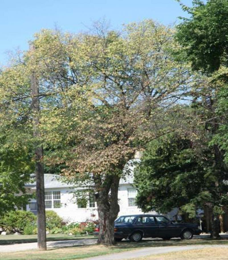 <p>Michael Allen / Winnipeg Free Press</p><p>An American elm tree infected with Dutch elm disease.</p>