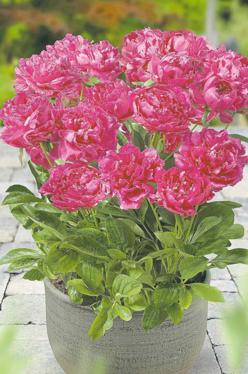 January 5, 2016 - Peonies. New, compact, city-series are ideal for growing in containers on balconies and decks and other small spaces. Producers also claim these ones are deer resistant. With Steve Whysall story on peonies for In the Garden.