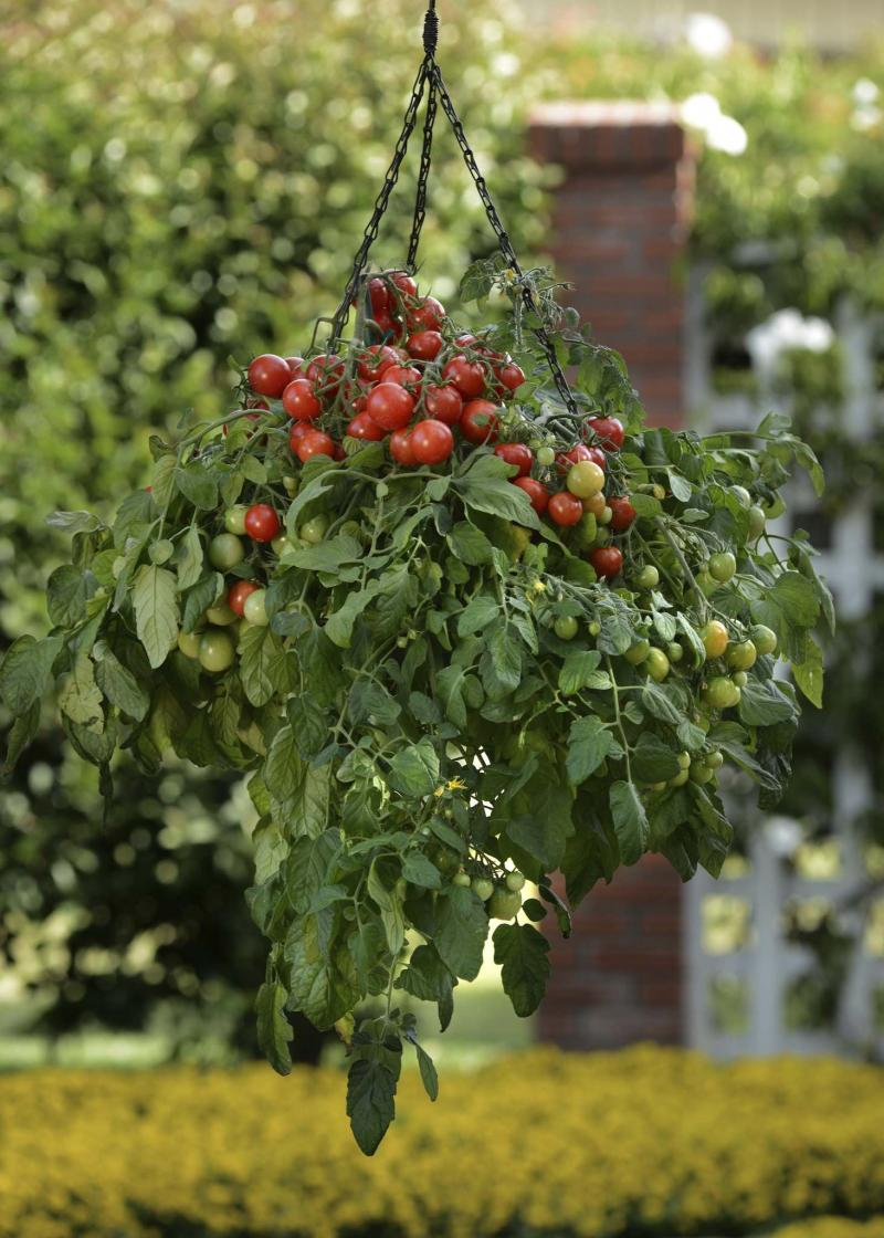 <p>Burpee</p><p>Looking for a compact, prolific tomato for your patio? Tumbler cherry tomato is a cascading variety that is ideal for hanging baskets or containers. </p>