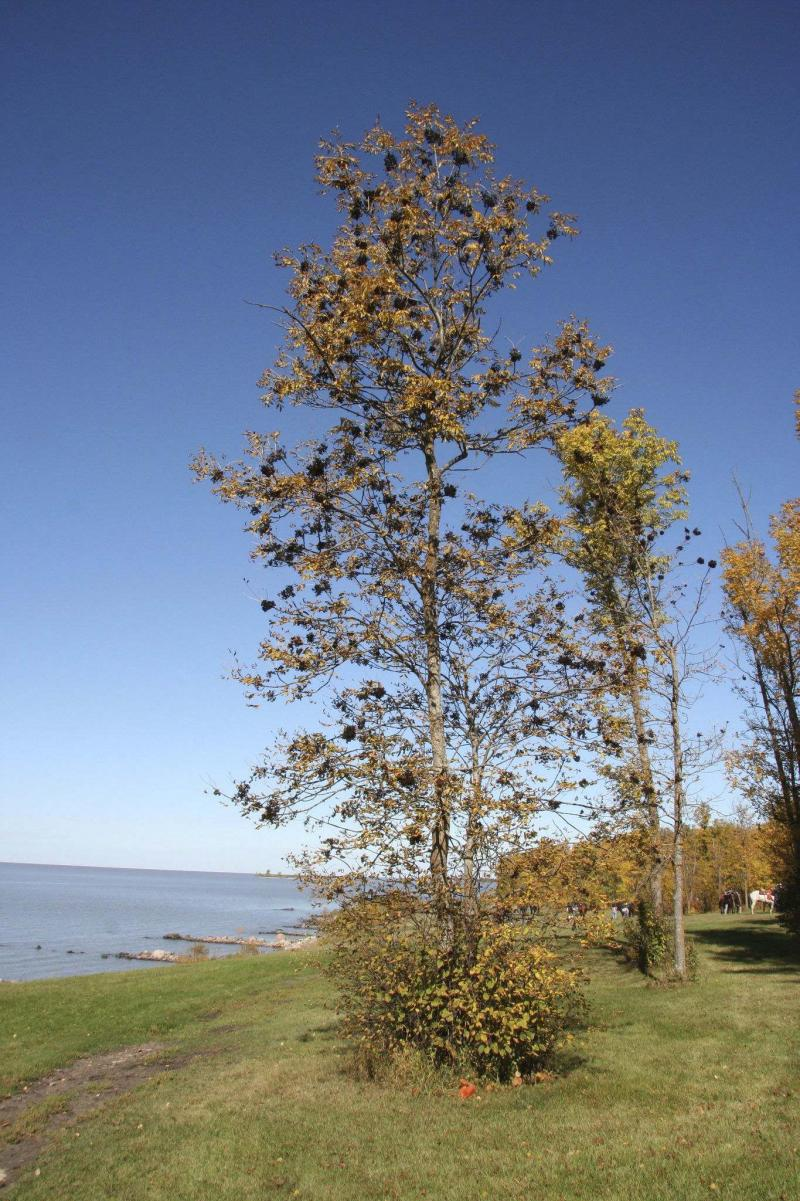 <p>Michael Allen / Winnipeg Free Press</p><p>Black ash trees dominate the landscape throughout southern and many areas of central Manitoba. Unfortunately, these trees will fall pray to the emerald ash borer.</p>
