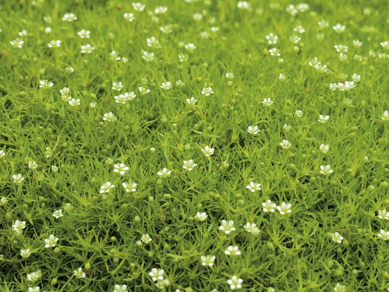 <p>Proven Winners</p><p>Who knew? Scotch and Irish moss are not actually mosses. True mosses do not flower. Top left: This wire-frame basket lined with layers of sheet moss should be watered frequently. Mist the sides to keep the moss looking its best. Bottom left: Plant moss or moss-like plants in full sun to part shade.</p>