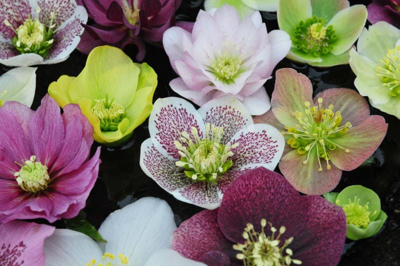 <p>Phoenix Perennials</p><p>The Winter Jewels series of Helleborus come in a full range of colours, some with double or single flowers and unique patterns.</p></p>