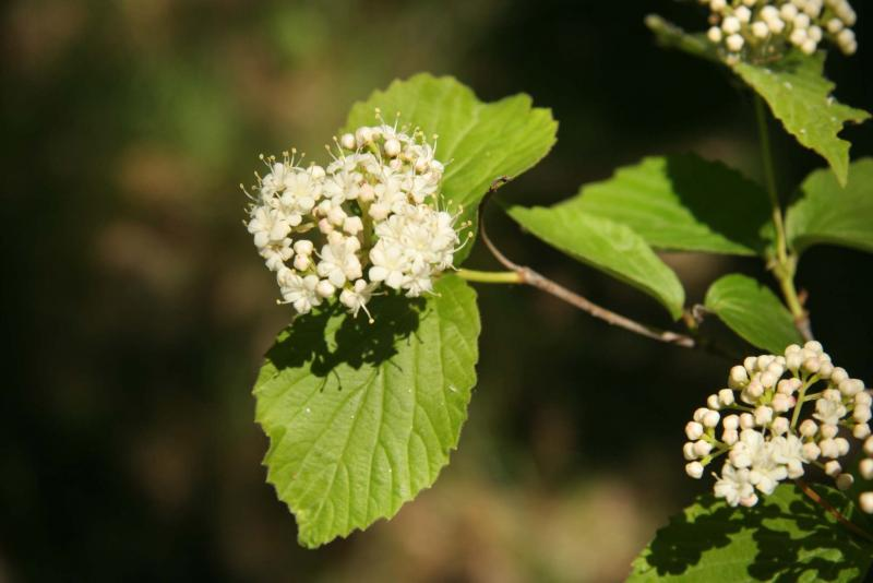 <p>Michael Allen / Winnipeg Free Press</p><p>It takes a ton of skill to propagate native arrowwood from seed. Opt for the easier-to-find downy arrowwood instead.</p>