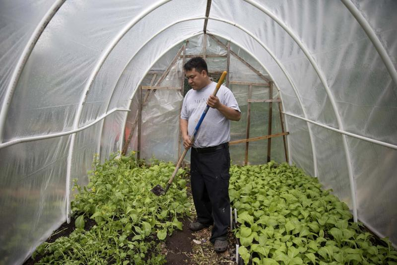 <p>Erin Hooley / Chicago Tribune / Tribune News Service</p><p>Pak Suan, of Myanmar, works in his small greenhouse in the Global Garden Refugee Training Farm. About 100 families, including refugees from Bhutan, Myanmar and elsewhere, have plots in the community garden.</p>