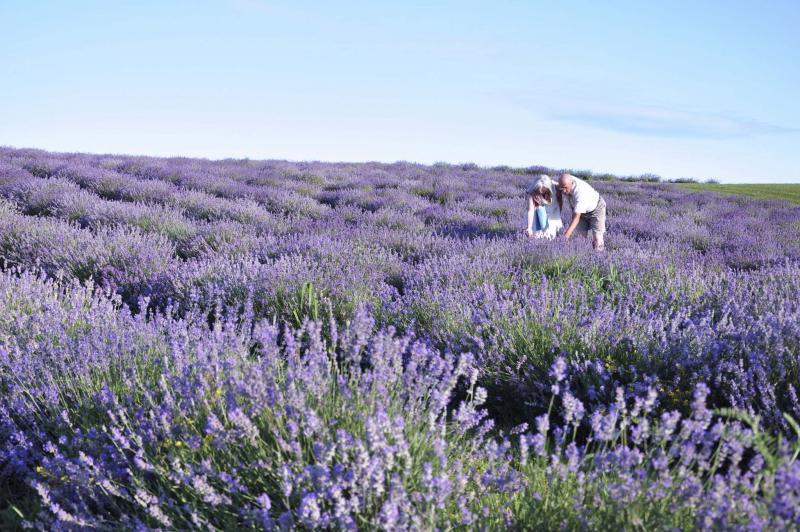 <p>Bleu Lavande</p></p><p>The glorious lavender fields of Bleu Lavande located in Quebec.</p>
