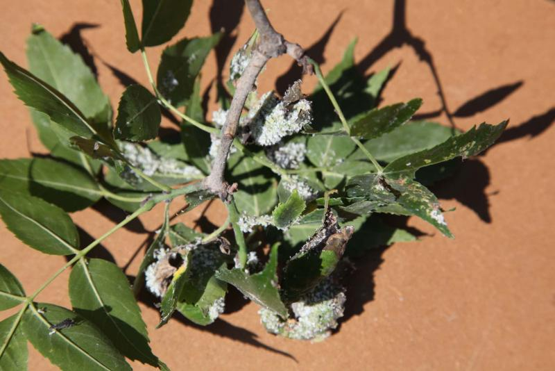 <p>Michael Allen / Winnipeg Free Press</p><p>An ash curl aphid colony. The aphids curl the leaves so they can feed on a tree uninterrupted.</p>