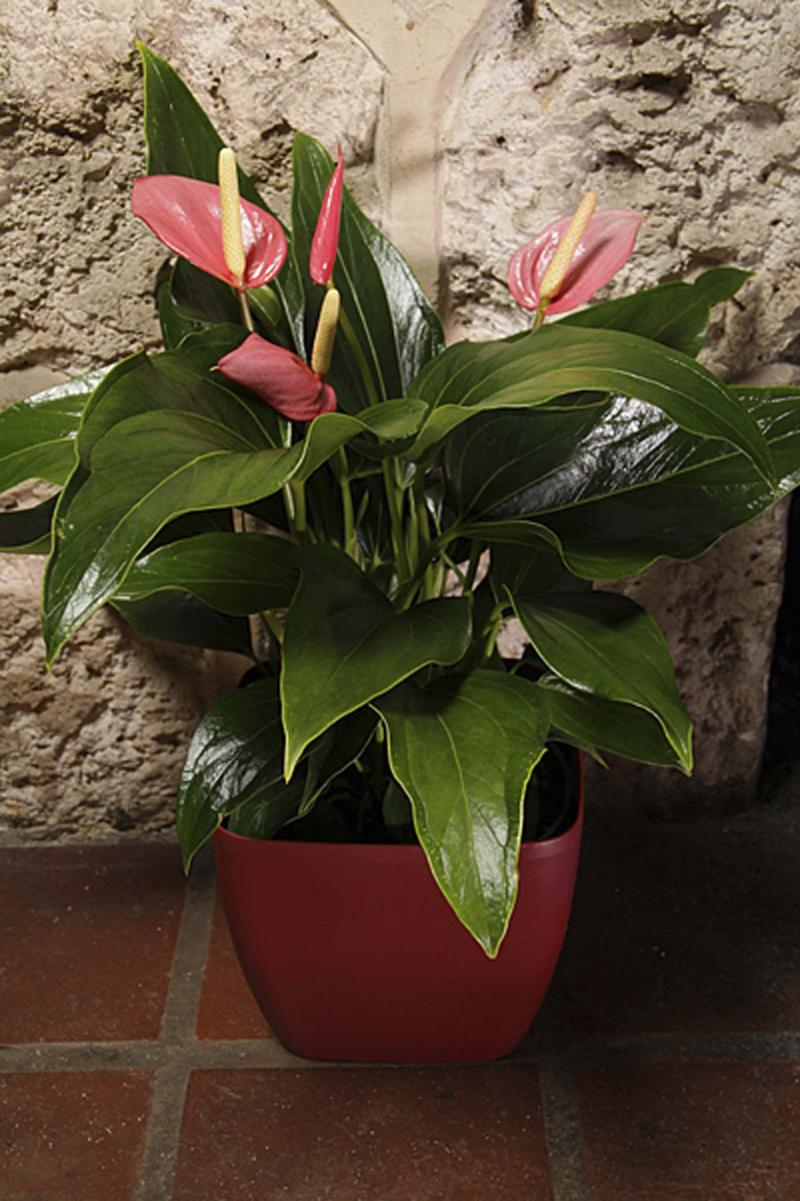 <p>Costa Farms</p><p>The best way to pot an indoor plant is to plant it in a thin, well-draining pot that is then placed inside a non-draining, ornamental container.</p>