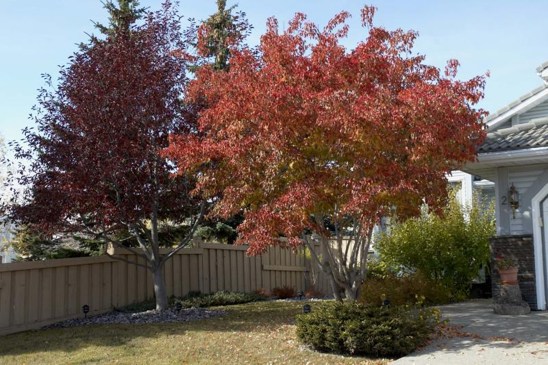 <p>Akemi Matsubuchi / Saskatoon StarPhoenix files</p><p>Amur maples are beautiful feature trees for small yards. However, these trees can be susceptible to premature yellowing.</p>