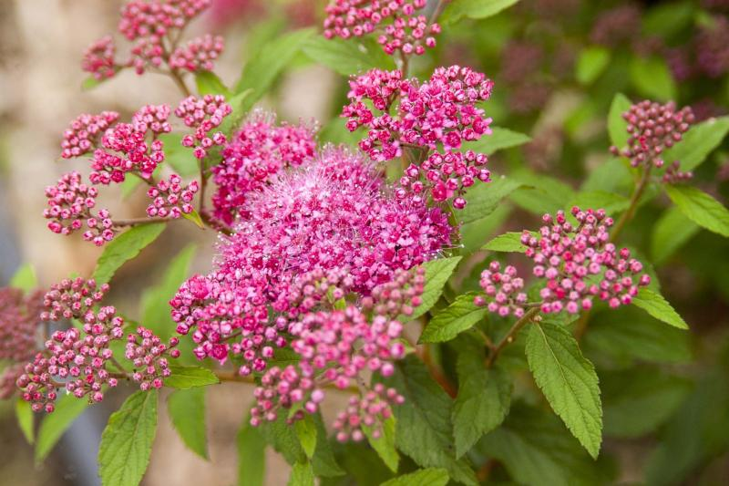 <p>First Editions</p><p>Superstar spirea has glorious three-season appeal with striking colour changes.</p>