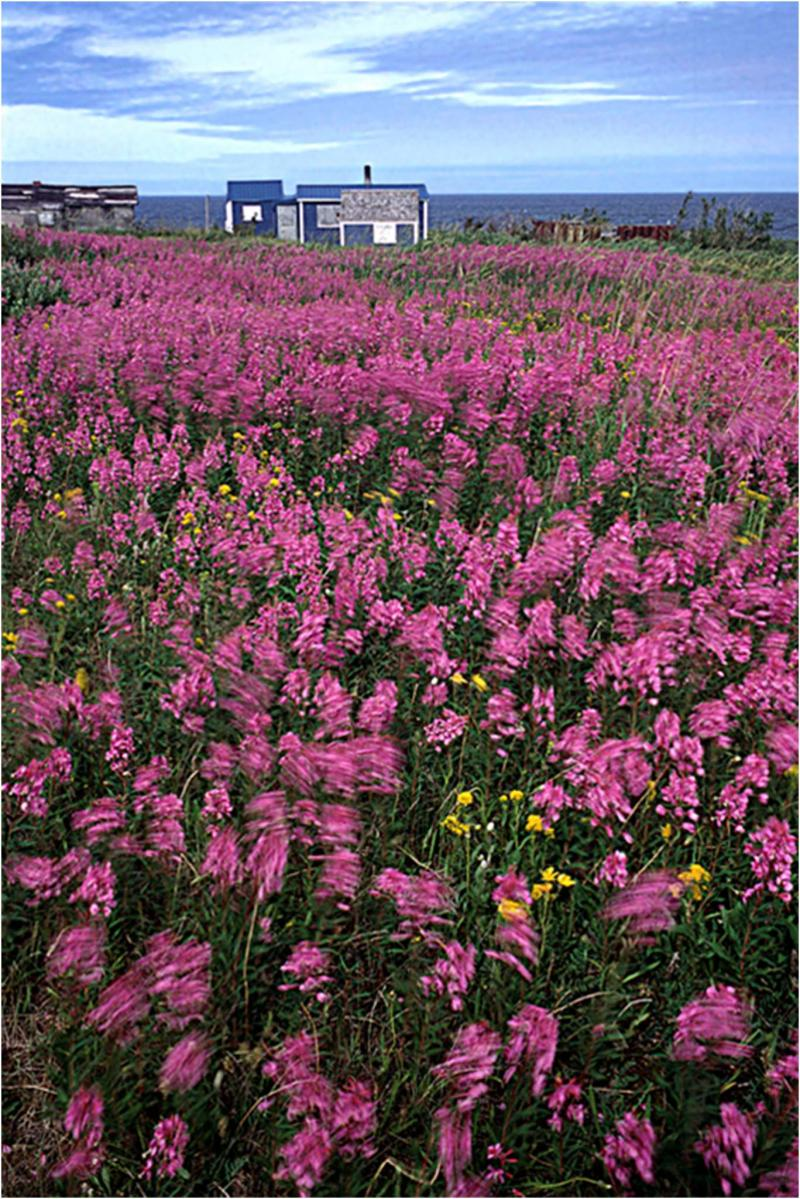<p>Lorne Heshka</p><p>A vivid carpet of purple fireweed blankets large areas in northern Manitoba.</p></p></p>