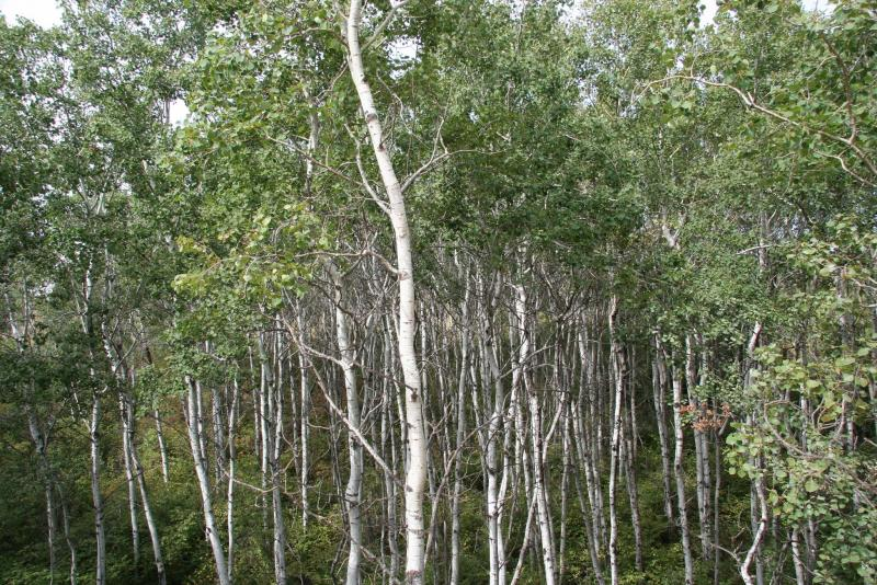 <p>Michael Allen / Winnipeg Free Press</p><p>A clone of aspen trees growing in a typical aspen woodland in Manitoba.</p>
