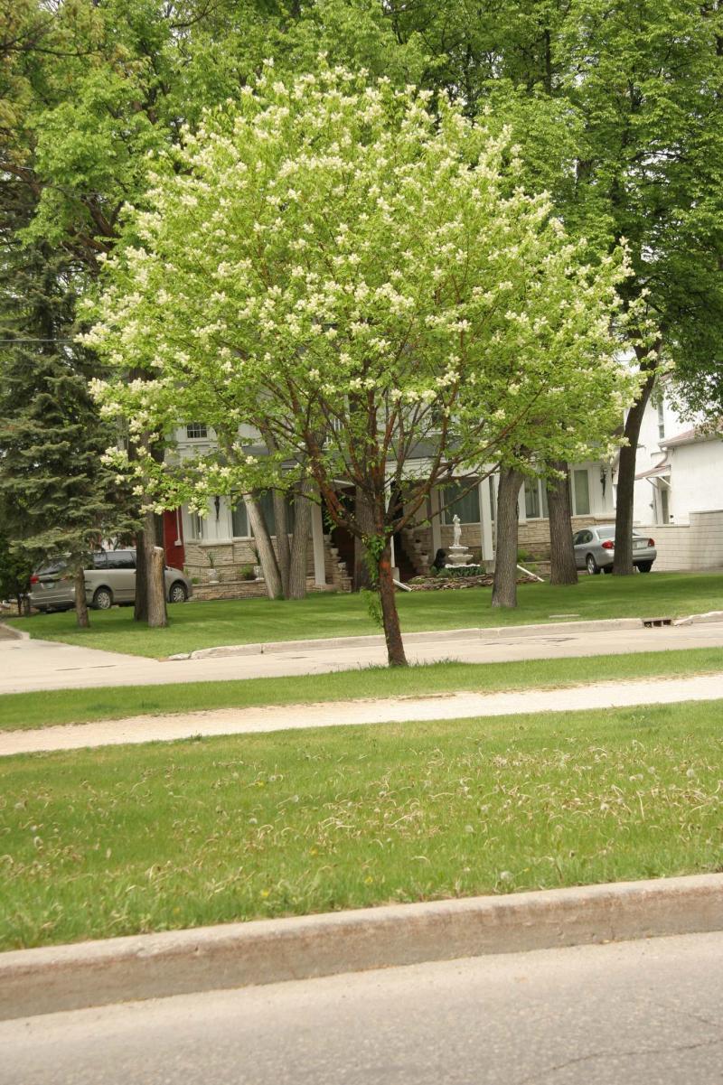 <p>Michael Allen / Winnipeg Free Press</p><p>Amur choke cherry in flower.</p>