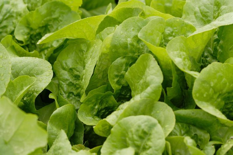 <p>West Coast Seeds</p><p>Did you hear that? It's Buttercrunch lettuce.</p>