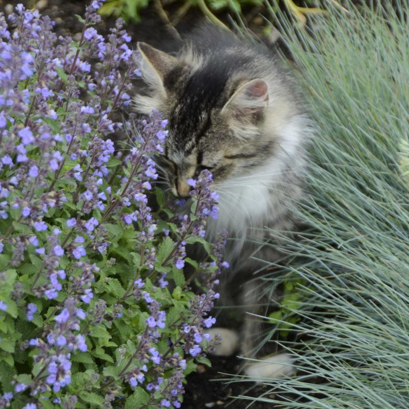 <p>Walters Gardens Inc.</p><p>Purrsian Blue catmint, a hardy zone 3 perennial, is purrfectly lovely in containers. In fall, plant it in your garden.</p>