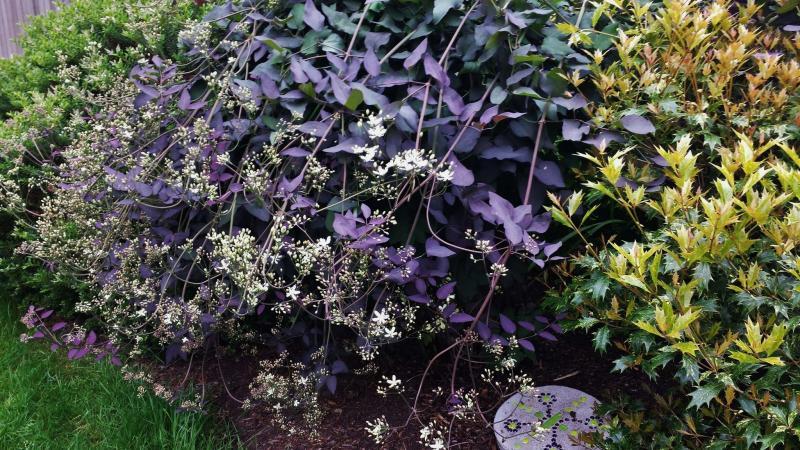 <p>Aubin Nurseries</p><p>An upright, non-vining clematis with a bush form, Serious Black has intriguing purple foliage.</p></p>