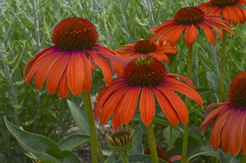 <p>Walters Gardens </p><p>Butterfly Julia's single petaled tangerine blooms make the perfect landing pad for butterflies and bumblebees.</p>