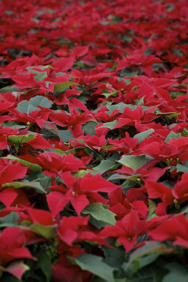 <p>Bruce Edwards / Edmonton Journal Files</p><p>Poinsettias love a cool window with half-day sun or filtered light. Water sparingly, allow drainage and avoid heat or drafts, too.</p>