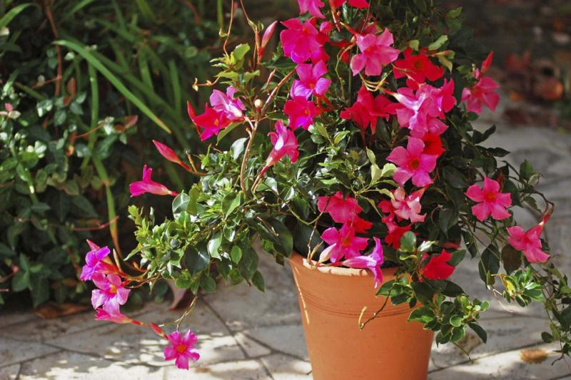 <p>Sun Parasol</p><p>Pretty Deep Pink is part of the Pretty Group and combines the best of dipladenia characteristics with mandevilla growth.</p>