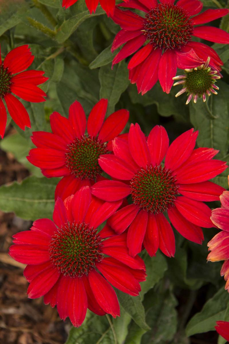 <p></p><p>Doreen Wynja for Monrovia</p></p><p>Sombrero Salsa Red coneflower with its vibrant red colour may have you dancing.</p>