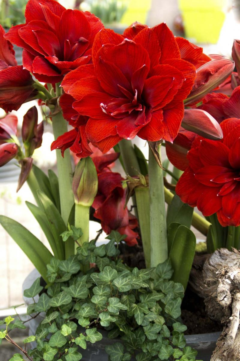<p>Simple Pleasures</p></p><p>Dress up your amaryllis display with ivies and moss. Shown: Double Dragon amaryllis.</p>