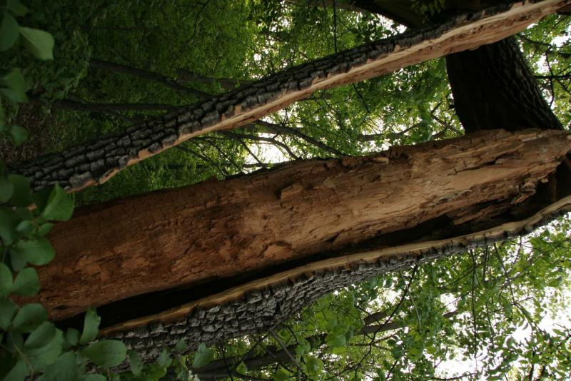 <p>Green ash close up of bark separated from trunk.</p>