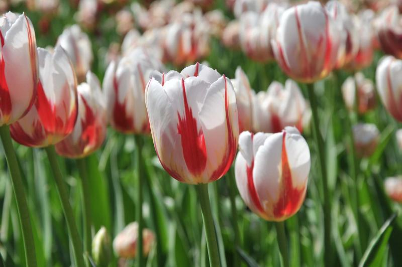 <p>National Capital Commission</p><p>Look for Canada 150 tulip displays in gardens across the country next spring.</p>