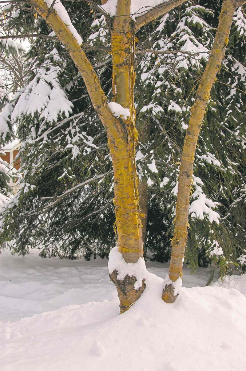 Becky Slater photo  Consider the impact of bark on your winter scene.  With golden amber colour, the flaky bark of Goldrush Amur Cherry can transform a bleak winterscape from boring to beautiful.