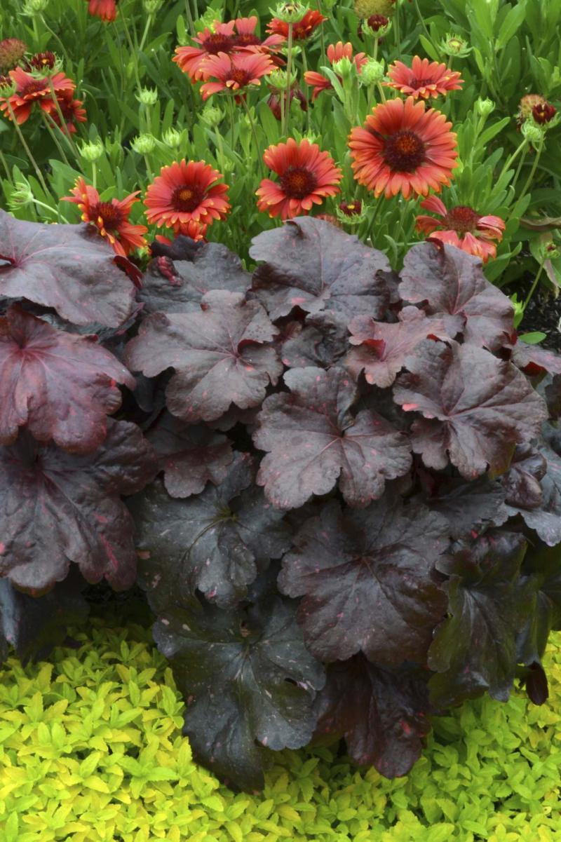 <p>Terra Nova</p><p>The changing colour of new Galaxy Coral Bells from bright red to purple black is out of this world.</p>