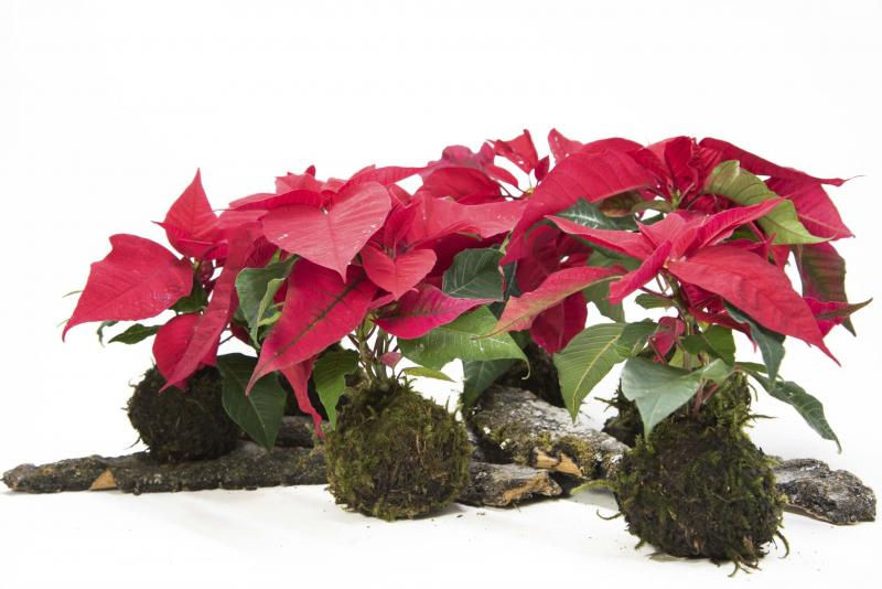 <p>Caine Chow Photo</p><p>Planting poinsettia in a moss ball creates a rustic and truly unique holiday decoration. </p>