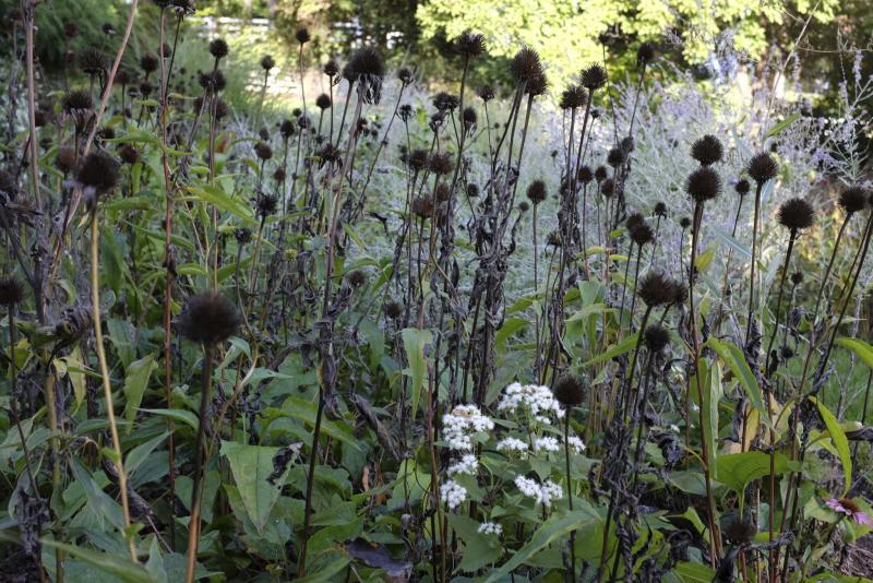 <p>Adrian Higgins / The Washington Post</p><p>The withered purple coneflowers of summer provide seed for birds in the winter.</p>