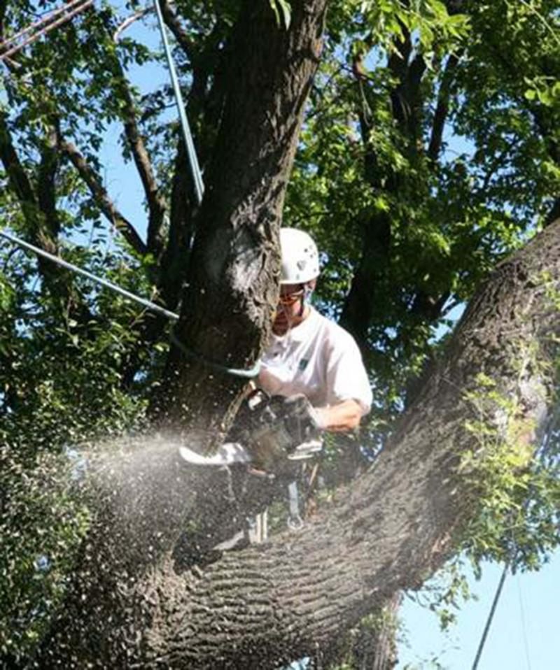 <p>Michael Allen / Winnipeg Free Press</p><p>Secured arborist removing a broken branch in a safe manner. Notice he has secured the limb he is cutting to prevent it from falling to the ground and causing harm or damage.</p></p>