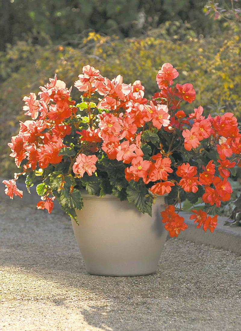 how to grow begonias outdoors