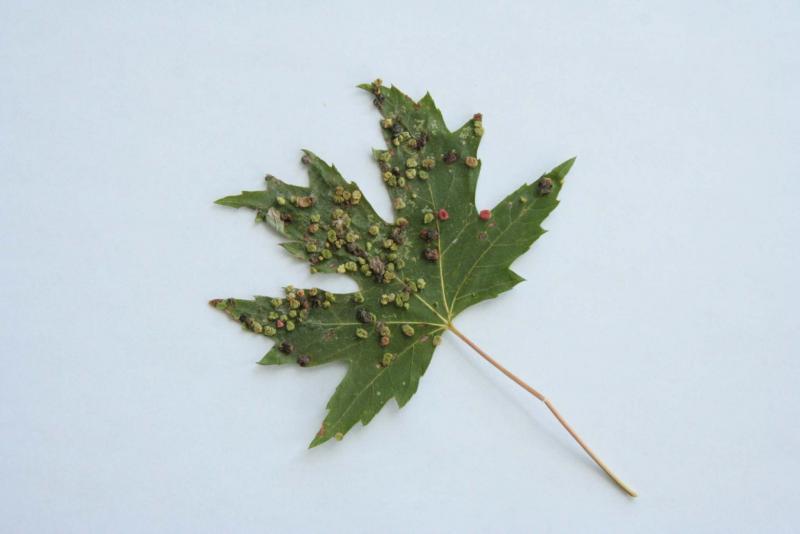 <p>Maple bladder mite</p>