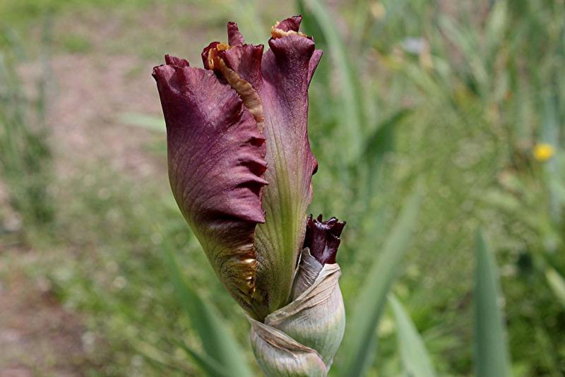 <p>Trails End Iris Gardens</p><p>Reveal second and third blossoms on double- and triple-socketed iris varieties by removing spent blooms.</p></p></p>