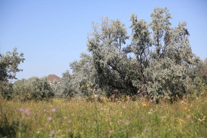 <p>Abandoned field overgrown with Russian olive trees that have arisen from seeds dropped by birds.</p>
