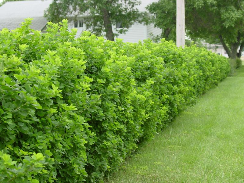 <p>Globe caragana: This compact shrub does not spread and is ideal as a formal hedge. Makes a suitable replacement for globe cedars. Intense, new fresh green foliage adds to spring landscape. Height: 1m/3ft Spread: 1m/3ft</p>