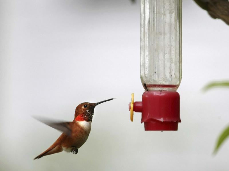 <p>Larry Steagall / The Associated Press files</p><p>Having more than one feeder is the best way to get hummingbirds to come around.</p>