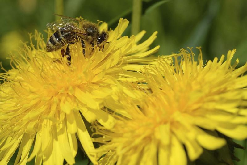 <p>KERSTIN JOENSSON / THE ASSOCIATED PRESS FILES</p><p>Boiling water or acetic acid (pickling vinegar) will kill your dandelions... and everything else.</p>