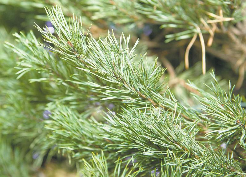 Gardening O Christmas Tree Winnipeg Free Press Homes