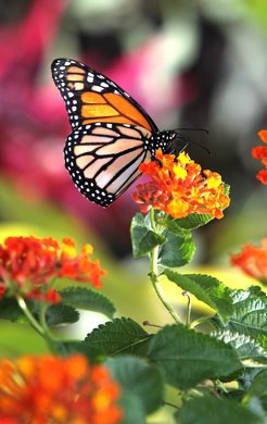 RUTH BONNEVILLE / WINNIPEG FREE PRESS June 23, 2011 Local - A Monarch butterfly is perched on a flower  in the newly opened Butterfly Garden in Assiniboine Park Thursday morning.