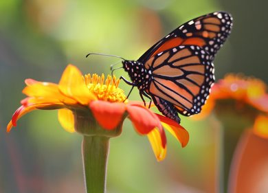 A monarch butterfly looks for nectar in Mexican sunflowers at Winnipeg's Assiniboine Park Monday afternoon-Monarch butterflys start their annual migration usually in late August with the first sign of frost- Standup photo August 22, 2011   (JOE BRYKSA / WINNIPEG FREE PRESS)