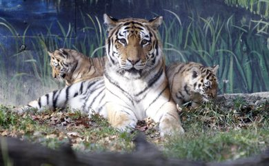 Two baby tigers were unveiled at the Assiniboine Park Zoo this morning, October 3rd, 2011. (TREVOR HAGAN/WINNIPEG FREE PRESS)