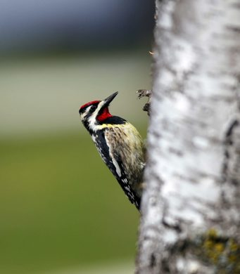 A Yellow-bellied Sapsucker hangs out on a birch tree in St. Vital. The Yellow-bellied Sapsucker is considered a keystone species. Other species take advantage of the holes that the birds make in trees. A group of sapsuckers are collectively known as a