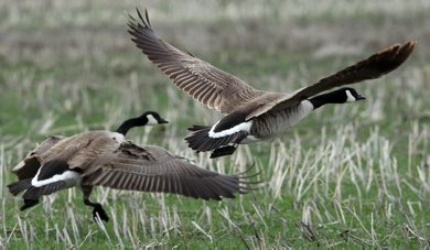 Two Canada geese fly Wednesday afternoon at Oak Hammock Marsh- Front bird is banded for identification- Goose Challenge Day 3- - Apr 30, 2012   (JOE BRYKSA / WINNIPEG FREE PRESS)