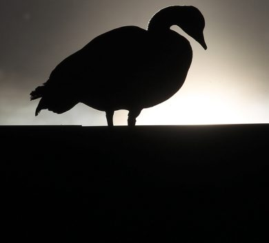 A nesting goose sits on the roof of GoodLife Fitness at 143 Nature Way near Kenaston as the morning sun comes up Wednesday morning- See Bryksa's Goose a Day Photo- Day 07- Web crop-May 09, 2012   (JOE BRYKSA / WINNIPEG FREE PRESS)