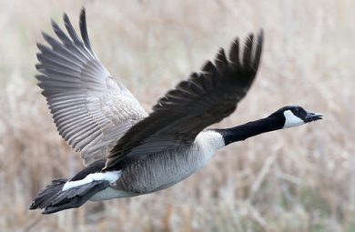 A Canada goose makes takes flight on Wilkes Ave Friday afternoon- See Bryksa's 30 Day goose a day challenge- Day 09- May 11, 2012   (JOE BRYKSA / WINNIPEG FREE PRESS)